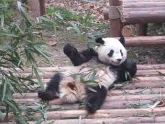 Pandacentret, Chengdu